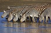 Herd of zebras drinking water, Ngorongoro Conservation Area, Arusha Region, Tanzania (Equus burchelli chapmani)