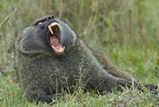 Close-up of an Olive baboon yawning, Lake Nakuru, Kenya (Papio anubis)