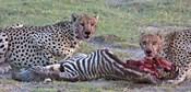 Portrait of two cheetahs eating a zebra, Ngorongoro Conservation Area, Arusha Region, Tanzania (Acinonyx jubatus)