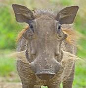 Close-up of a warthog, Lake Manyara, Arusha Region, Tanzania (Phacochoerus aethiopicus)