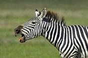 Side profile of a zebra braying, Ngorongoro Conservation Area, Arusha Region, Tanzania (Equus burchelli chapmani)
