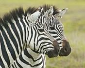 Close-up of two zebras, Ngorongoro Conservation Area, Arusha Region, Tanzania (Equus burchelli chapmani)