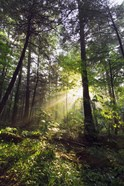 Sunbeams in dense forest, Great Smoky Mountains National Park, Tennessee, USA.