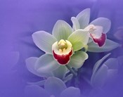 Waxy white orchids with fuchsia centers floating in purple water