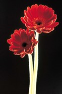 Close up of two deep red flowers with white stems on black background