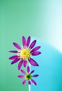 Close up of purple flowers with yellow centers on turquoise background