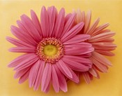 Close up of two pink zinnias on yellow gold background