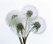 Close up of four dandelion heads in seed on stems