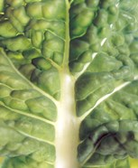 Close up of bumpy vegetable leaf with white stalk