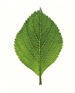 Close up of Green Leaf
