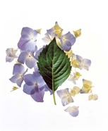 Close up of green leaf and lavender flower petals scattered on white