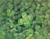 Close up of green clover