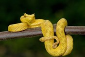 Close-up of an Eyelash viper (Bothriechis schlegelii), Arenal Volcano, Costa Rica