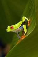 Close-up of a Red-Eyed Tree frog (Agalychnis callidryas) sitting on a leaf, Costa Rica