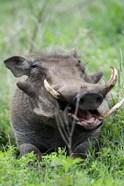 Warthog (Phacochoerus aethiopicus) in a field, Ngorongoro Crater, Ngorongoro, Tanzania