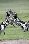 Burchell's zebras (Equus burchelli) fighting in a field, Ngorongoro Crater, Ngorongoro, Tanzania
