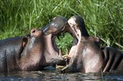 Two hippopotamuses (Hippopotamus amphibius) fighting in water, Ngorongoro Crater, Ngorongoro, Tanzania