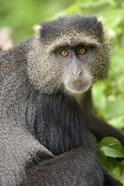 Close-up of a Blue monkey (Cercopithecus mitis), Lake Manyara National Park, Tanzania