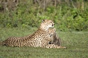 Cheetah cub (Acinonyx jubatus) playing with its mother, Ndutu, Ngorongoro, Tanzania