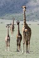 Giraffes (Giraffa camelopardalis) standing in a forest, Lake Manyara, Tanzania