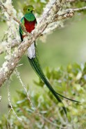 Close-up of Resplendent quetzal (Pharomachrus mocinno) perching on a branch, Savegre, Costa Rica