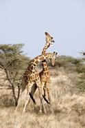 Reticulated giraffes (Giraffa camelopardalis reticulata) necking in a field, Samburu National Park, Rift Valley Province, Kenya