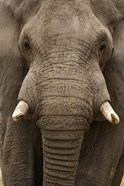 Close-up of an African elephant (Loxodonta africana) trunk, Lake Manyara, Tanzania