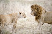 Lion and a lioness (Panthera leo) standing face to face in a forest, Ngorongoro Crater, Ngorongoro, Tanzania