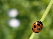 Ladybug on a stem
