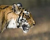 Close-up of a Bengal tiger (Panthera tigris tigris), Bandhavgarh National Park, Umaria District, Madhya Pradesh, India