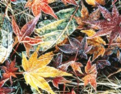 Close Up Fallen Maple Leaves