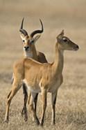 Pair of Ugandan kobs (Kobus kob thomasi) mating behavior sequence, Queen Elizabeth National Park, Uganda