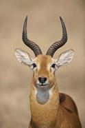 Close-up of a Ugandan kob (Kobus kob thomasi), Queen Elizabeth National Park, Uganda