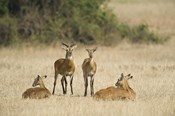 Ugandan kobs (Kobus kob thomasi) mating behavior sequence, Queen Elizabeth National Park, Uganda