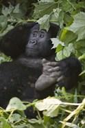 Mountain Gorilla (Gorilla beringei beringei) in a forest, Bwindi Impenetrable National Park, Uganda