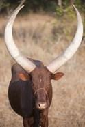 Ankole-Watusi cattle standing in a field, Queen Elizabeth National Park, Uganda