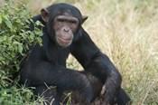Chimpanzee (Pan troglodytes) in a forest, Kibale National Park, Uganda