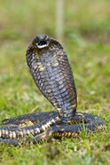Close-up of an Egyptian cobra (Heloderma horridum) rearing up, Lake Victoria, Uganda