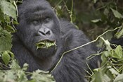 Close-up of a Mountain gorilla (Gorilla beringei beringei) eating leaf, Rwanda