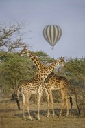 Two Masai giraffes (Giraffa camelopardalis tippelskirchi) and a hot air balloon, Tanzania