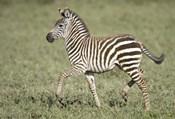 Burchell's zebra (Equus quagga burchellii) colt walking, Tanzania