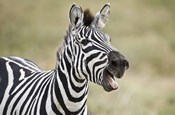 Burchell's zebra (Equus quagga burchellii) smiling, Tanzania