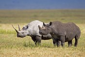 Side profile of two Black rhinoceroses standing in a field, Ngorongoro Crater, Ngorongoro Conservation Area, Tanzania