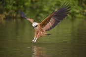 Black-Collared hawk pouncing over water, Three Brothers River, Meeting of Waters State Park, Pantanal Wetlands, Brazil