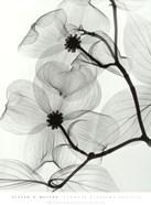 Dogwood Blossoms - Positive