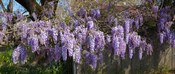 Wisteria flowers in bloom, Sonoma, California, USA