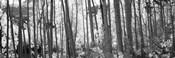 Aspen tree trunks in black and white, Colorado, USA