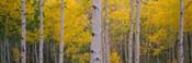 Aspen Trees in Telluride, Colorado