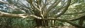 Banyan Tree, Maui, Hawaii