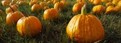 Close Up of Pumpkins in a  Field, Half Moon Bay, California